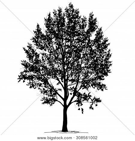Poplar (populus L.) Silhouette With Foliage, The Black-and-white Vector Image On A White Background