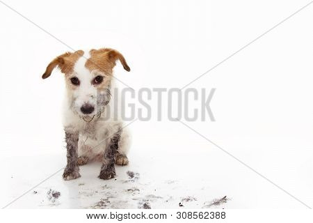 Guilty Dirty Dog. Funny Jack Russell After Play Ina Mud Puddle. Isolated Against White Background.