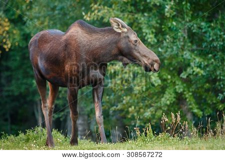 Moose Cow In Kincaid Park In Anchorage In Alaska