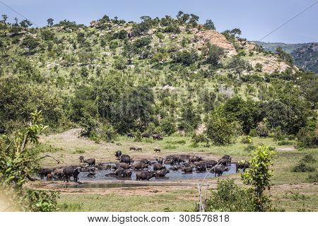 African Buffalo Herd In Waterhole In Kruger National Park, South Africa ; Specie Syncerus Caffer Fam