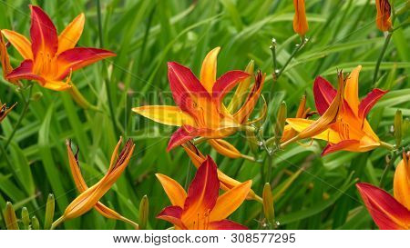 Close Up Of Blooming Day-lily Flowers Or Hemerocallis Flower In Sunny Day. Hemerocallis Fulva On Gre