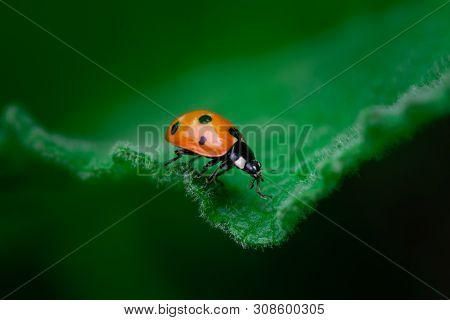 Ladybug Walks On The Edge Of A Leaf, Coccinellidae, Arthropoda, Coleoptera, Cucujiformia, Polyphaga