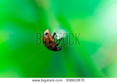 Ladybug Balances On Top Of A Stalk, Coccinellidae, Arthropoda, Coleoptera, Cucujiformia, Polyphaga
