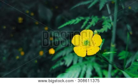Closeup Of A Common Buttercup Yellow Flowers In Forest On Green Grass Background. Ranunculus Acris M