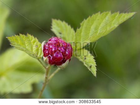 Ripe Boysenberry Fruit Rubus Ursinus