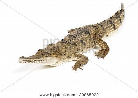 Australian Fresh Water Crocodile on white background
