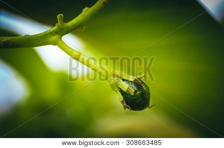 Young Small Avocado Sprout On The Brunch, Close Up. Avocado Tree Growth, Mediterranean Agriculture,