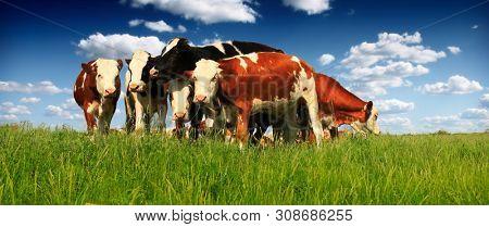 Herd of Beef Cattle grazing in pasture