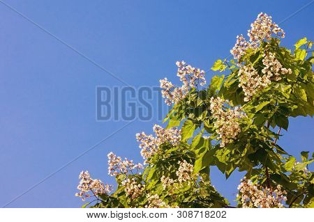 Springtime. Branch Of A Catalpa Tree (catalpa Bignonioides) With Leaves And White Flowers Against A