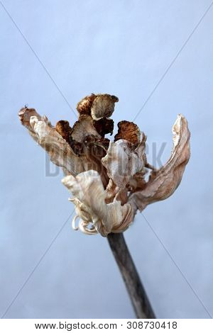 Fully Dried Jagged Tulip Plant With Light To Dark Brown Open Tepals Resembling Dried Mushrooms Growi