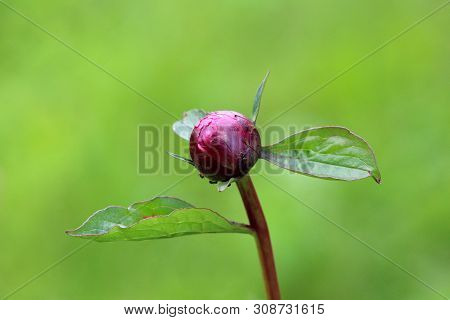 Peony Or Paeony Herbaceous Perennial Flowering Plant With Single Closed Flower Bud Surrounded With L