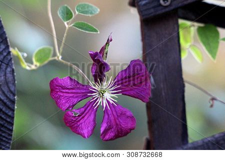 Single Clematis Or Leather Flower Dark Purple Easy Care Perennial Vine Flower With Leathery Petals A