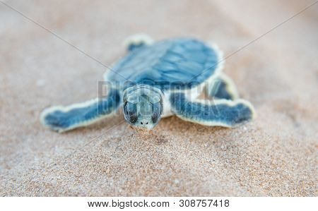Front View Of A Flatback Sea Turtle Hatchling Crawling In The Dunes On Bare Sand Island In The Remot