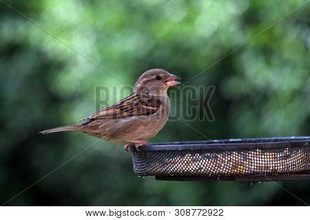 Female House Sparrow On A Garden Bird Feeder In Summertime England 2019.