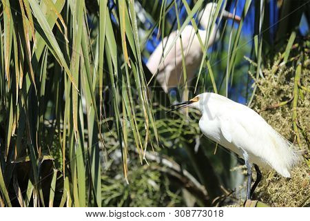 Snowy Egret Perched On Branch At Alligator Farm St. Augustine Florida