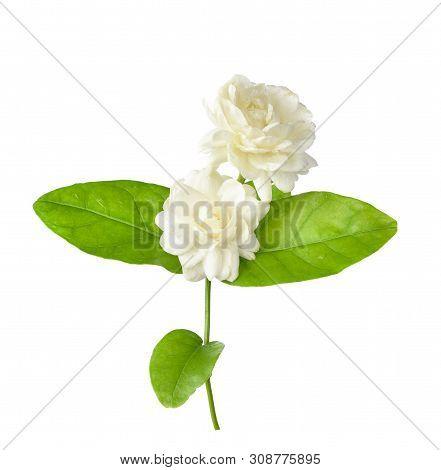 A Jasmine Flower Isolated On White Background