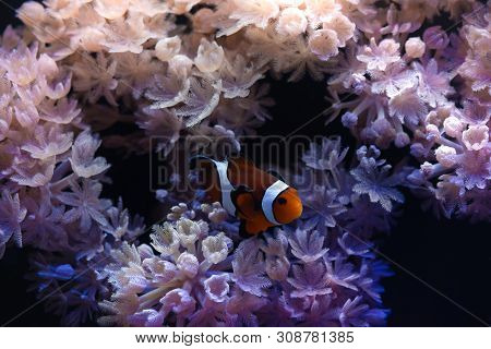 Nice Sea Scape Aquarium With Anemones And Clown Amphiprion Fish Nature Macro Photography
