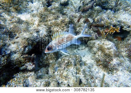 The longspine squirrelfish (Holocentrus rufus) is a silvery red, sea fish with orange-gold body stri