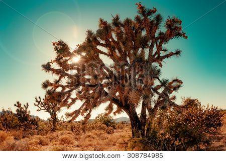 Joshua Tree cactus in Coachella near Palm Springs, CA, desert landscape.