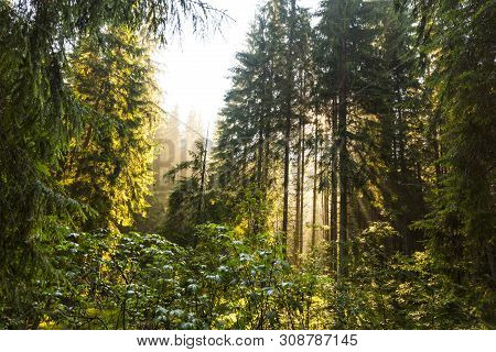 Early Morning Light In An Alpine Forest, In Summer, In The Alps