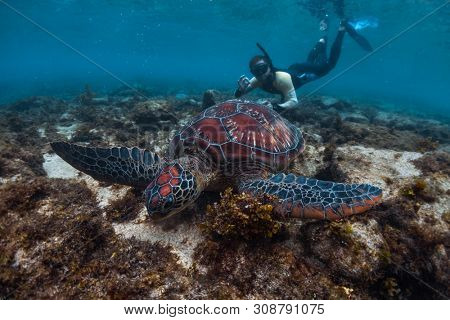 Man snorkeling and swimming with the colorful sea turtle (Cheloniidae) in the tropical sea near the Apo island in Philippines