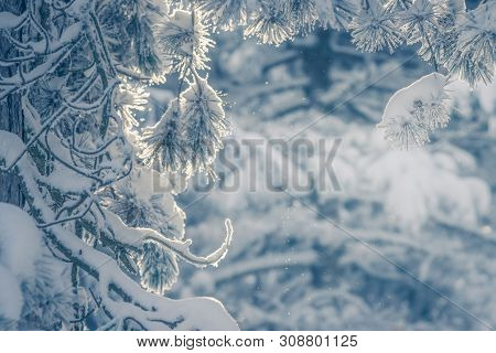 Winter Background Of Frozen Branches. Natural Winter Background. Winter Trees Background. Winter For