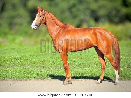 Red Racing mare on summer green nature background poster