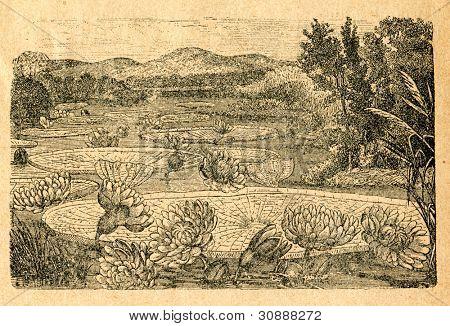 Victoria amazonica - näckros på Amazonfloden - gammal illustration av okänd konstnär från Botanika S