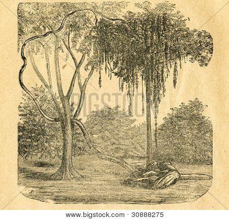 Entada - liana - gammal illustration av okänd konstnär från Botanika Szkolna na Klasy Nizsze, författaren Jo