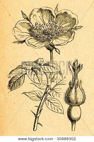 Rose - gammal illustration av okänd konstnär från Botanika Szkolna na Klasy Nizsze, författare Jozef Rosta