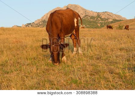 One Brown Cow Graze Grass In The Middle Of The Steppe