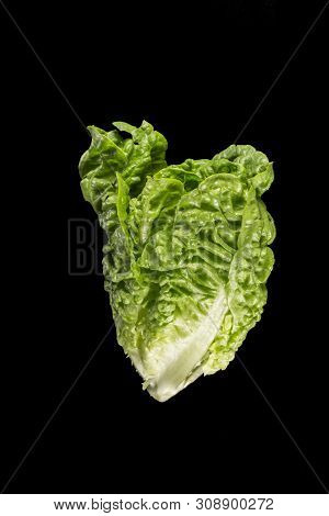 Cos or Romaine Lettuce (Lactuca Sativa L. var. longifolia) in a black backgroung. It is a variety of lettuce with a tall head of sturdy dark green leaves with firm ribs down their centers. poster
