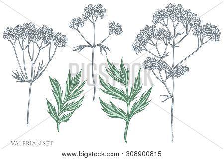 Vector Set Of Hand Drawn Pastel Valerian Stock Illustration