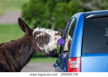 A tourist sticks their arm out of a car window to give a snack to a begging feral donkey at Custer State Park, South Dakota. poster