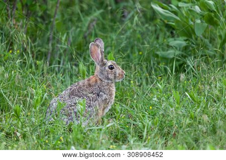 A Cute Little Wild Bunny Rabbit Sits In The Vibrant Green Grass Cautiously Looking For Signs Of Dang