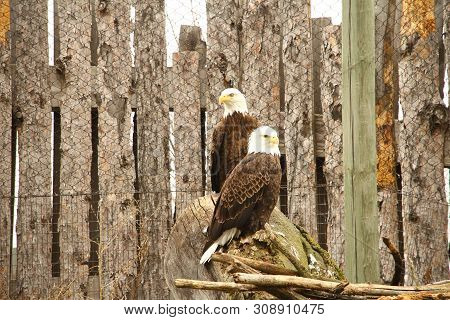 A Pair Of Bald Eagles Perched A Log. A Bird Of Prey And Our National Emblem.