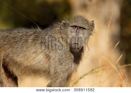 Young chacma baboon (Papio ursinus), Kruger National Park, South Africa