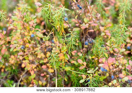 Bright Blue Juicy Wild Blueberries Grow In Colorful Vegetation In Autumn In The Tundra Of The Boreal