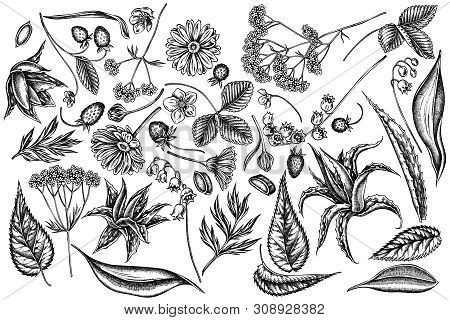 Vector Set Of Hand Drawn Black And White Aloe, Calendula, Lily Of The Valley, Nettle, Strawberry, Va