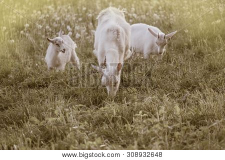 Local Family Goats In The Yard Village House. Goats Standing Among Green Grass. Goat And Goat Kid. H