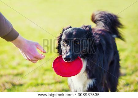 Obedient purebred border collie dog playing outdoors in the park as fetching the flying disc toy back to his master. Adorable, well trained puppy enjoying a sunny day. Friendship between owner and pet. poster