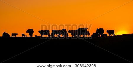 Morning Pasture, Silhouette Of Cattle Grazing Before Sunrise. Herd Of Cows On A Summer Morning.