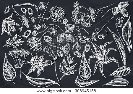 Vector Set Of Hand Drawn Chalk Aloe, Calendula, Lily Of The Valley, Nettle, Strawberry, Valerian Sto