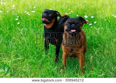 Two dogs of breed Brussels Griffon in the park poster