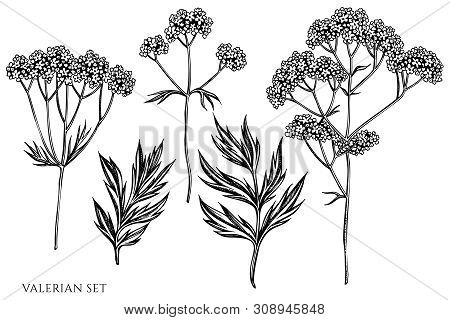 Vector Set Of Hand Drawn Black And White Valerian Stock Illustration