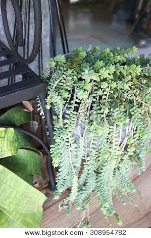Angiosperms, Burrito, Core Eudicots Or  Crassulaceae In The Garden
