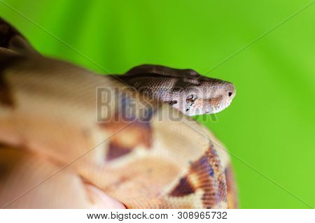 Boa Constrictor Imperator Salmon.  Exotic Animals In The Human Environment. Snake On Hand. Constrict