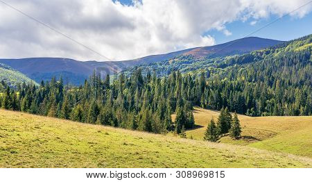 Spruce Forest In Mountains On A Sunny Day. Warm Weather At The Beginning Of Autumn Season. Borzhava