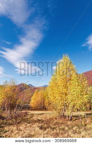 Birch Trees In Yellow Foliage. Vivid Nature Scenery Of Carpathian Mountains. Clouds On The Blue Sky.