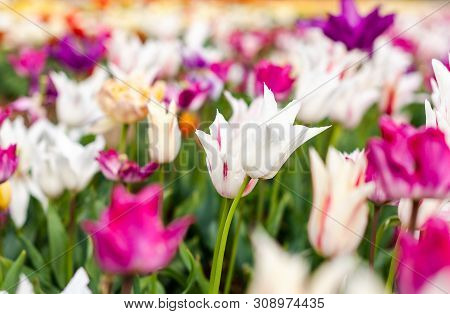 Blooming Bell Shaped Tulip Field, Flower With Green Leaf In Sunlight With Blurrred Colorful Tulips A